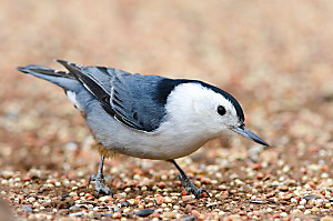 white-breasted nuthatch appearance